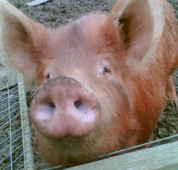 Georgina the Tamworth pig