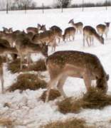 Our herd of Fallow Deer