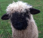 Honey - Valais Blacknose sheep