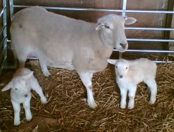 First lambs to arrive