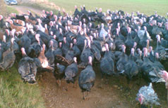 Turkeys coming in for Christmas